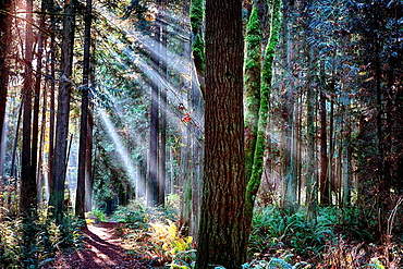 Sunlight splits into streams of light in a forest along the Hansville, Washington, Greenway Trail.