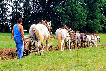 old-style demonstration ploughing with Percheron horses, equestrian and agricultural show, Regional Natural Park of Perche, Orne department, Lower Normandy region, France, Western Europe.
