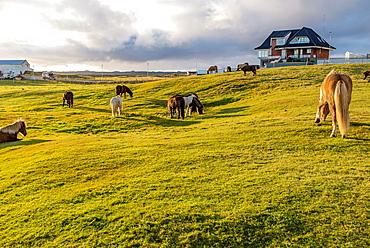 Krysuvik pastureland, Iceland.