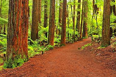 Path through Whakarewarewa Forest, Redwood, Sequoia, Tree, Rotorua, Bay of Plenty, North Island, New Zealand.