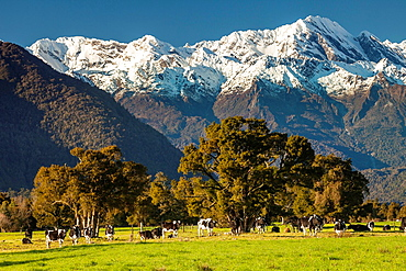 Dairy cows grazing under Butler peaks, Whataroa river flats, West Coast.