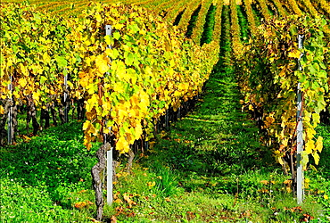 vineyard in autumn, canton Vaud, Switzerland.
