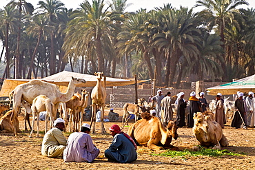 darow camels market. egypt.