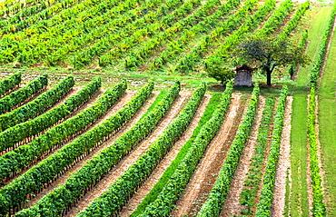 vineyard in the Bourgogne, France
