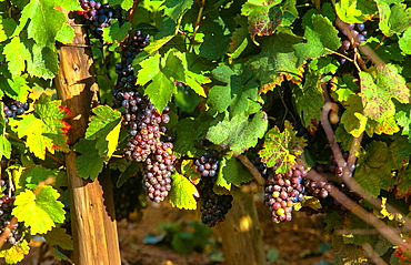 blue grapes at vineyard in Champagne, France