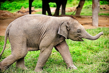 Elephant calf Elephas maximus, Elephant Breeding Center, Chitwan National Park, Nepal