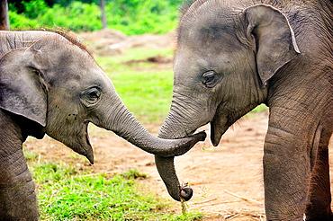 Elephant calves Elephas maximus, Elephant Breeding Center, Chitwan National Park, Nepal