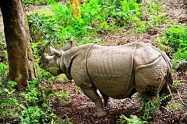 Indian rhinoceros Rhinoceros unicornis, Chitwan National Park, Nepal