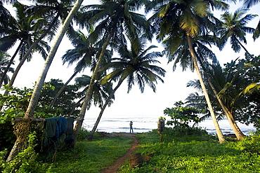 Coconut groves facing Arabian sea, Goa, India.