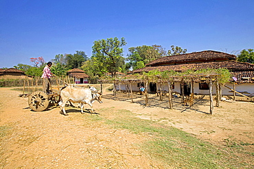 Typical house and farmer on cart, Gond tribe, Gadchiroli, Maharashtra, India.