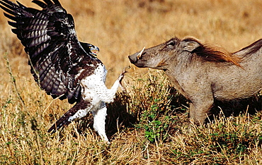 Martial Eagle (Polemaetus bellicosus) and Warthog (Phacochoerus aethiopicus), Masai Mara, Kenya