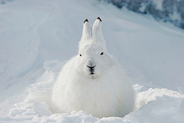 Adult Arctic Hare (Lepus arcticus) in winter coloration on the snow-drift covered rocky shore of Hudson Bay near Churchill, Manitoba, Canada.