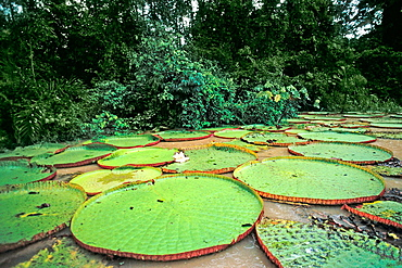 Giant water lilies (Victoria Amazonica), Moxos, Amazonia, Bolivia