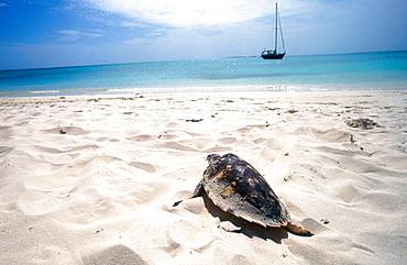 Hawksbill turtle (Eretmochelys imbricata), Los Roques archipelago, Caribbean sea, Venezuela - 817-47586