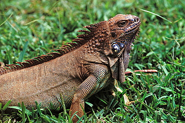 Green Iguana (Iguana iguana), Tortuguero national park, Costa Rica