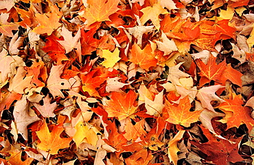 Leaves in autum, Pyrenees, Catalonia, Spain