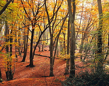 Beech trees in autumn, Epping Forest, Essex, England, UK