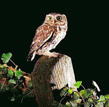 Little Owl (Athene noctua), Hertfordshire, England, UK
