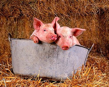 Large white piglets in feed bucket