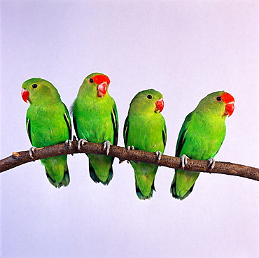 Peach-faced Lovebirds (Agapornis roseicollis)