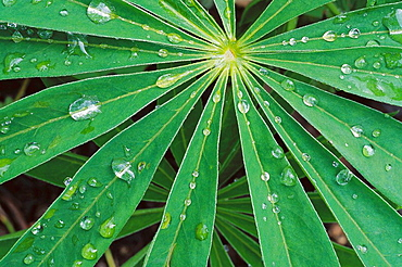 Rain drops on lupin leaf