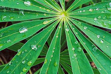 Rain drops on lupin leaf