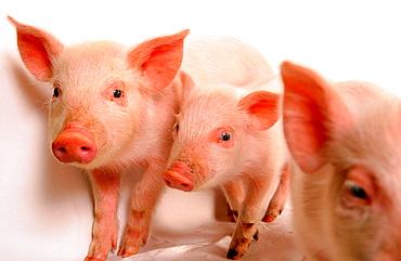 3 weeks old piglets