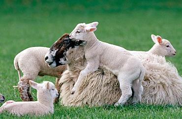 Ewe and lambs, UK
