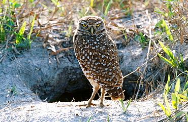 Burrowing Owl (Athene cunicularia or Athene Cunicularia), Florida, USA