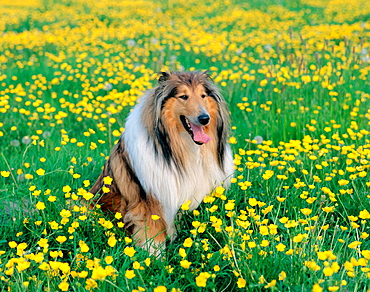 Rough collie and buttercups