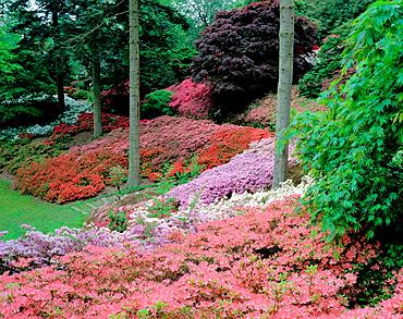 Azaleas in bloom, Windsor Great Park, Berkshire, England