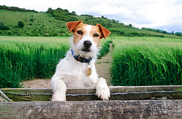 Jack Russel terrier, Chiltern countryside, Buckinghamshire, England