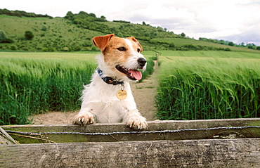 Jack Russell terrier in Chiltern countrysdie, Buckinghamshire, England