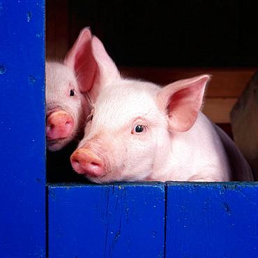 Piglets in sty