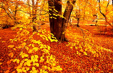 Beeches in full autumn colour, Epping Forest, Essex, UK