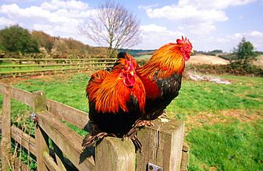 Peking cock bantums, Hertfordshire, UK
