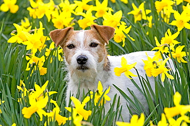 Jack Russell Terrier in daffodils.