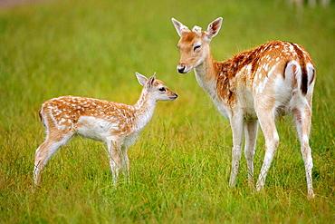 Fallow Deer (Dama dama) & Fawn