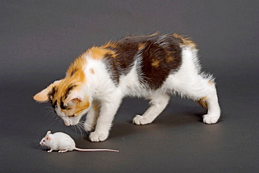 Tortoishell Kitten Playing With Mouse
