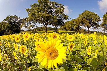 Sunflowers in Norfolk Farmland, UK