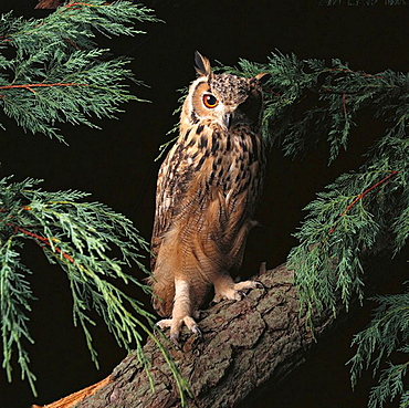Young Bengal Eagle Owl