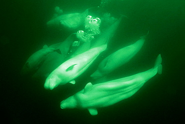 Belugas (Delphinapterus leucas), Churchill River, Hudson Bay, Manitoba, Canada