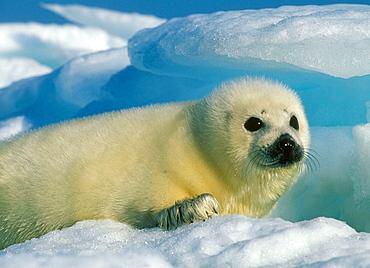 Harp Seal Pup (Phoca groenlandica), Baby on ice, februaary, Magdalen Islands, Quebec, Canada.