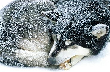 Sled dog, Quebec, Canada