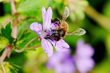 Bee on flower (Geranium sp.), Osseja, Pyrenees-Orientales, Languedoc-Roussillon, France
