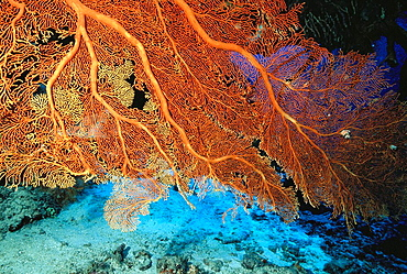 Gorgonian Sea Fan (Subergorgia mollis), Great Barrier Reef, Australia