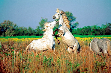 Wild Horses of Camargue fighting, Camargue, Southern France