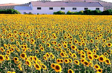 Plantation of sunflowers, Osuna, Sevilla province, Spain