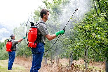 Farmers treating fruit trees with sprayer (Insecticides, Pesticides), Apple trees, Gipuzkoa, Euskadi, Spain.