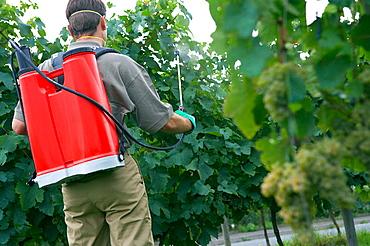 Farmer using sprayer in 'txacoli' vineyard, Guipuzcoa, Euskadi, Spain